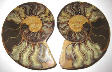 Ammonite Fossil Specimens For Sale